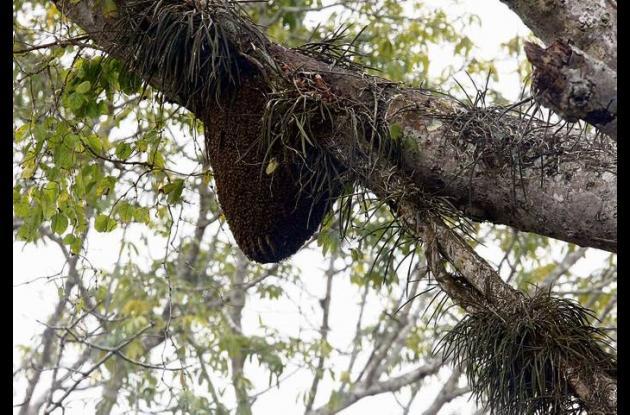 El parasco de abejas africanizadas