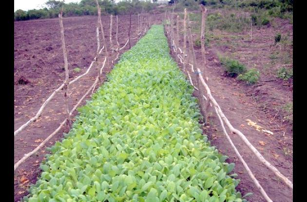 Cultivos de tabaco