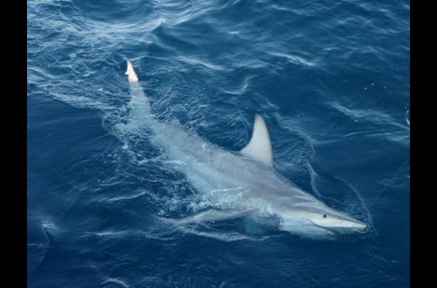 Tiburones de punta negra de Australia.
