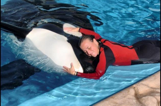 Reapareció la ballena asesina en espectáculo después del incidente.