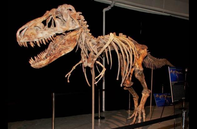 El esqueleto del Tarbosaurus bataar, primo meno del Tiranosaurus Rex.