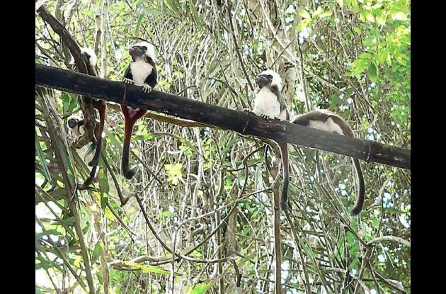 Hogar de los Tití Cabeciblancos sería declarado área protegida