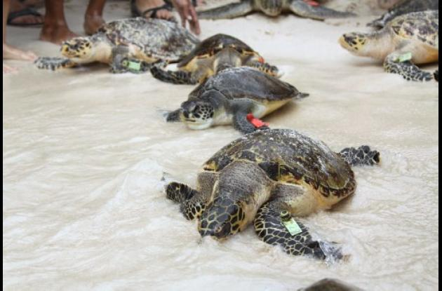 Tortugas Carey cambian de hábitat para protegerse de las amenazas