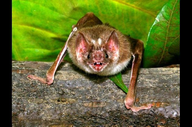 Murciélago vampiro.