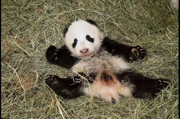 Este panda nació hace 100 días.