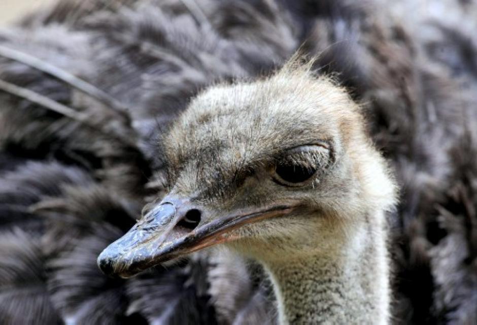 Avestruz en zoológico de Cali