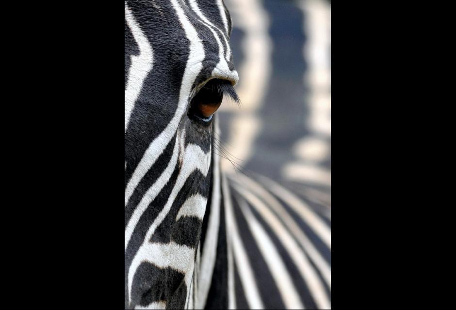 Las cebras, primas coloridas de los caballos y los asnos