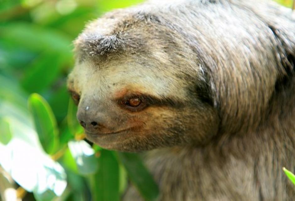 Oso perezoso, en parque Centenario de Cartagena