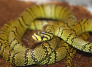 Serpiente rata con rayas de perla