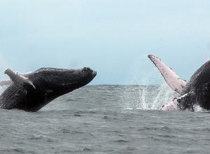 En la imagen, unas ballenas jorobadas que llegan desde la Antártida a las cálidas aguas de Ecuador.