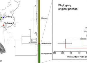 Ilustración divulgada por la revista Current Biology donde se muestra en la figura A (i) la ubicación geográfica de los pandas antiguos y actuales utilizados en un estudio, junto con una tomografía computarizada del cráneo de Cizhutuo, y en la B (d) una filogenia reconstruida de la familia Ursidae y una vista ampliada de la subfamilia del panda gigante, Ailuropodinae, que muestra que el linaje Cizhutuo mtDNA está más estrechamente relacionado con los pandas actuales que con otros osos.